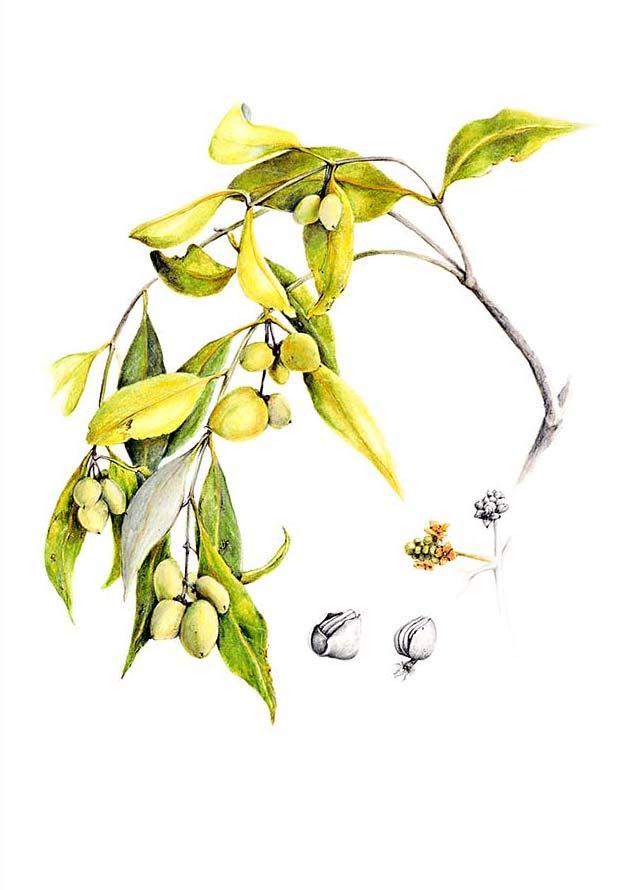 avicennia marina var eucalyptifolia_2012